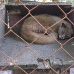 Luwak (Civet) at Santi Coffee Plantation